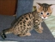 Lovely and cute looking Bengal Kittens available for sweet homes.They are 8 weeks old,up to 